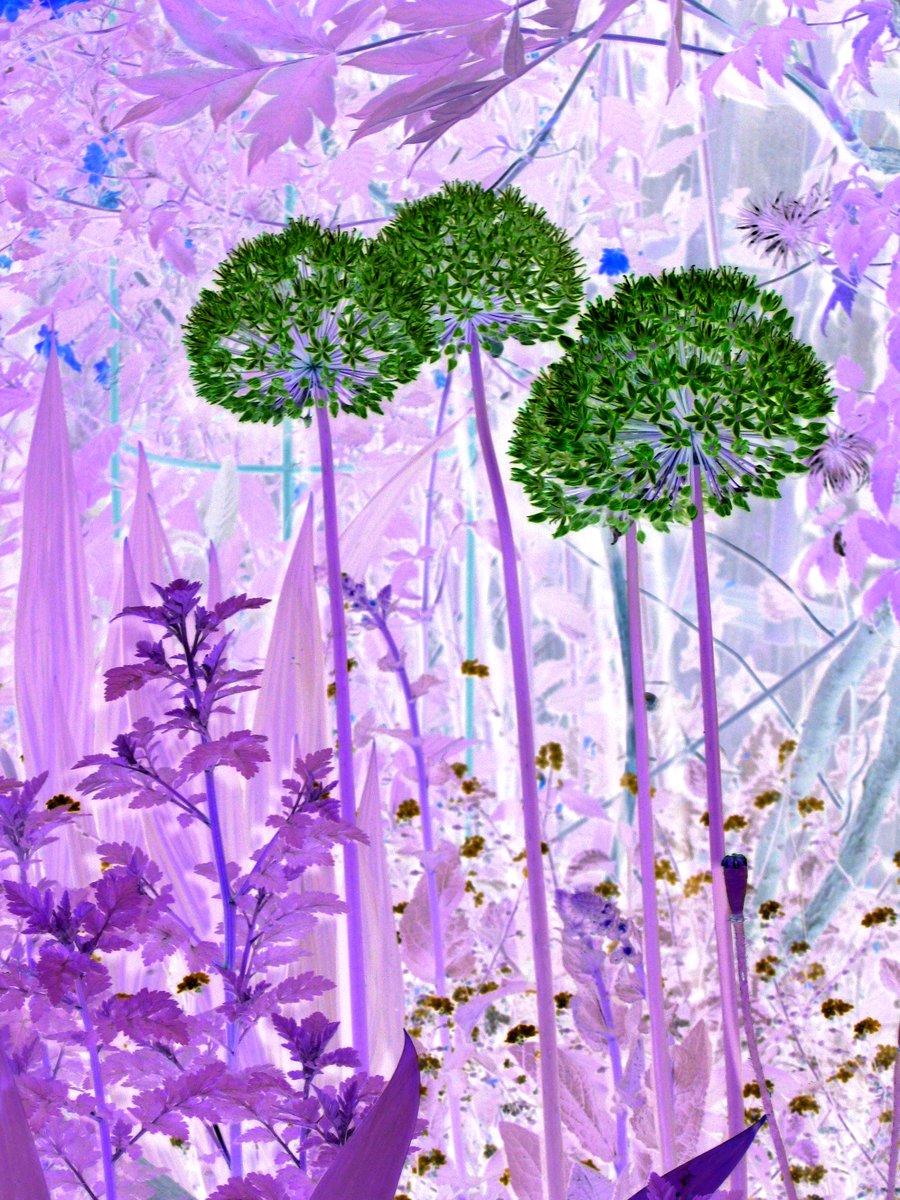 Alliums - Lottie Clarke
